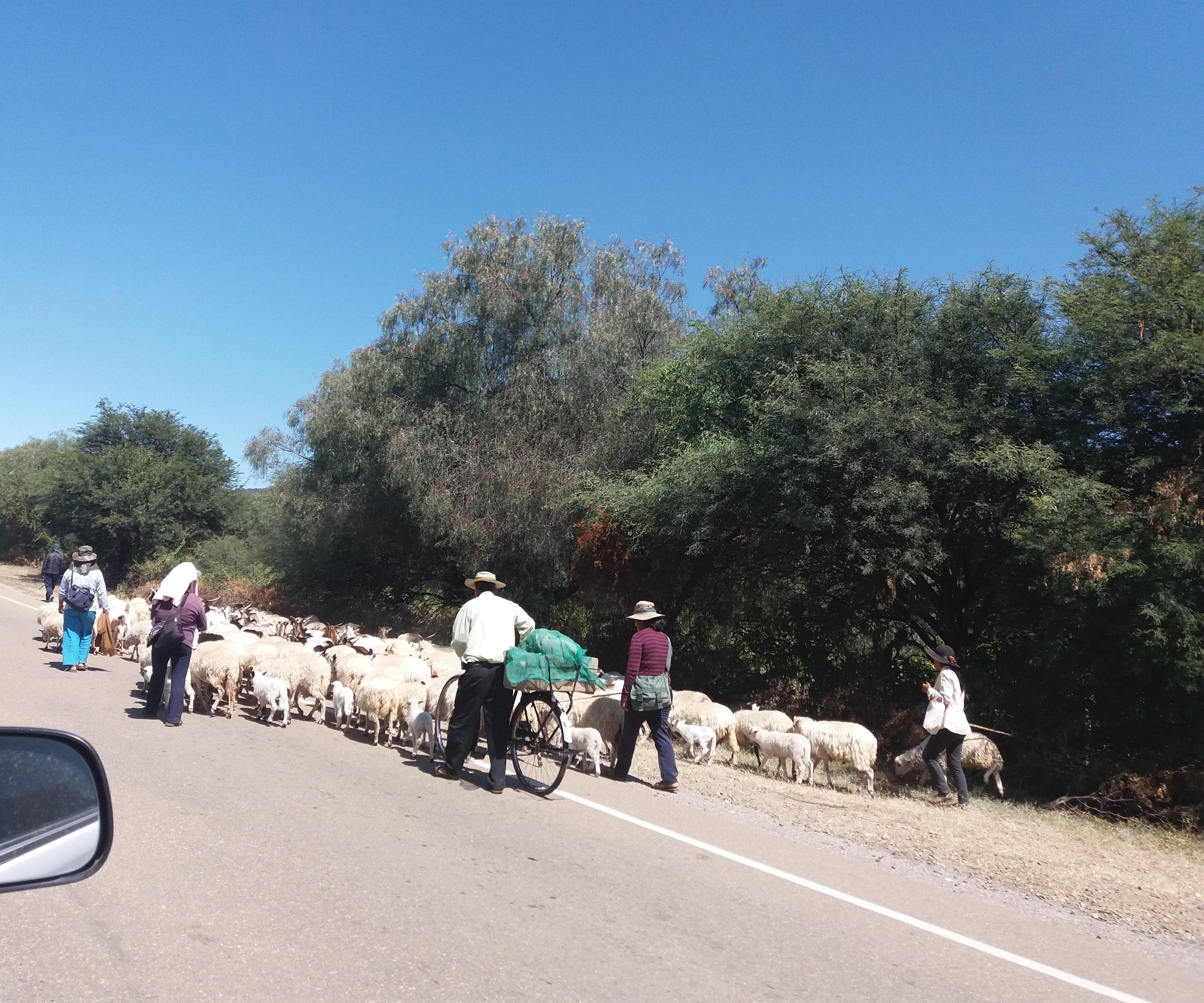 Herd on Bolivian highway