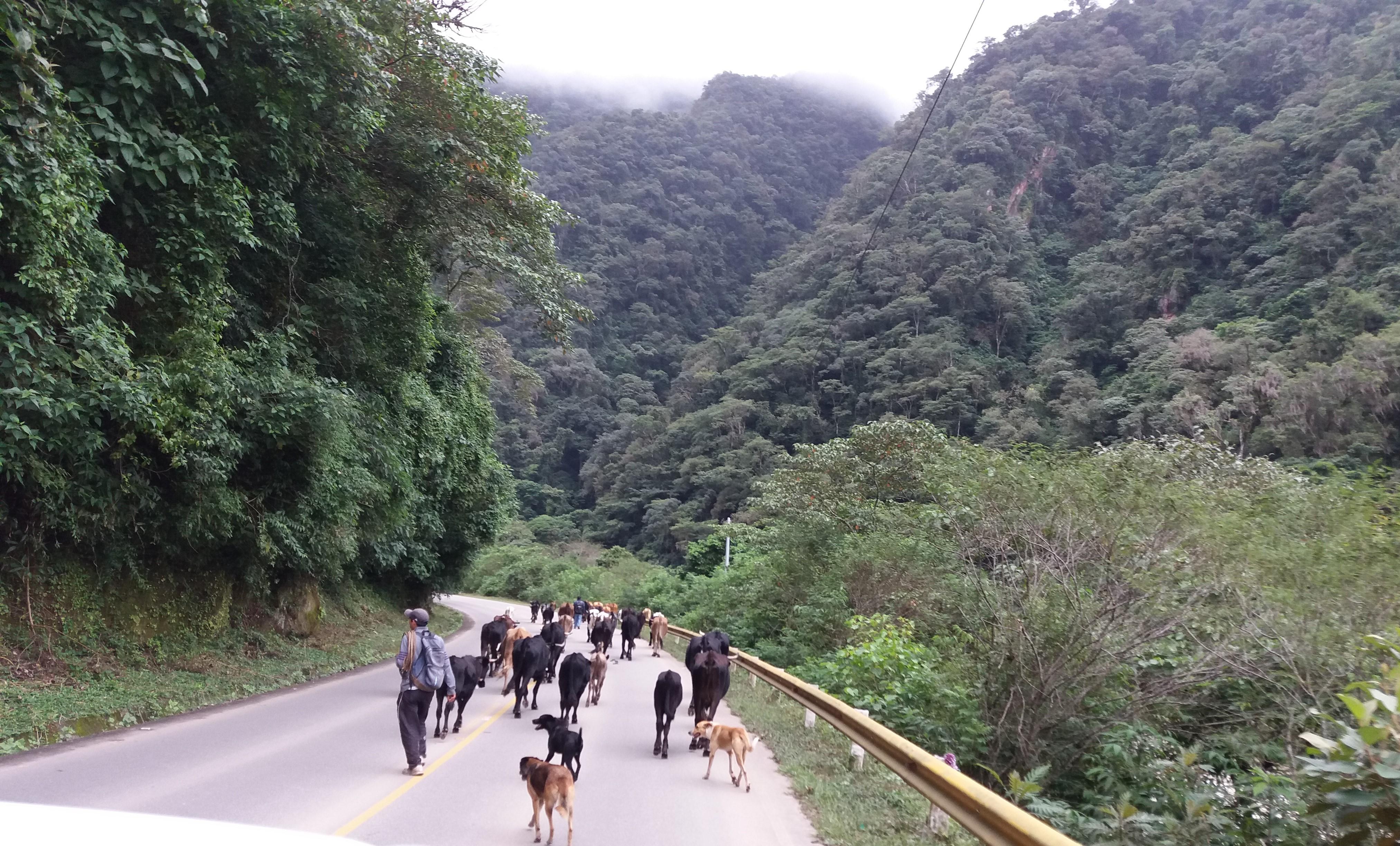 Herd moving in rainforest