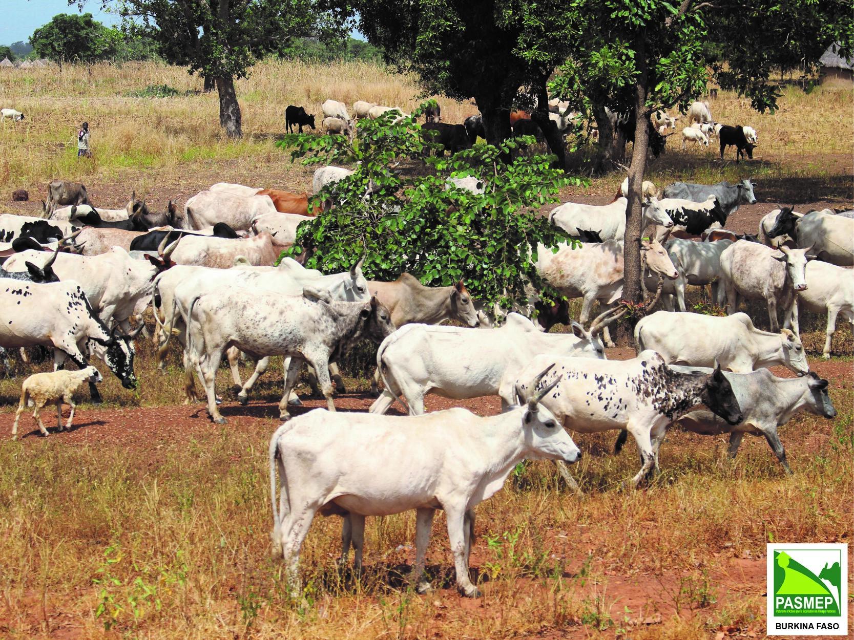 Cattle herd in Burkina
