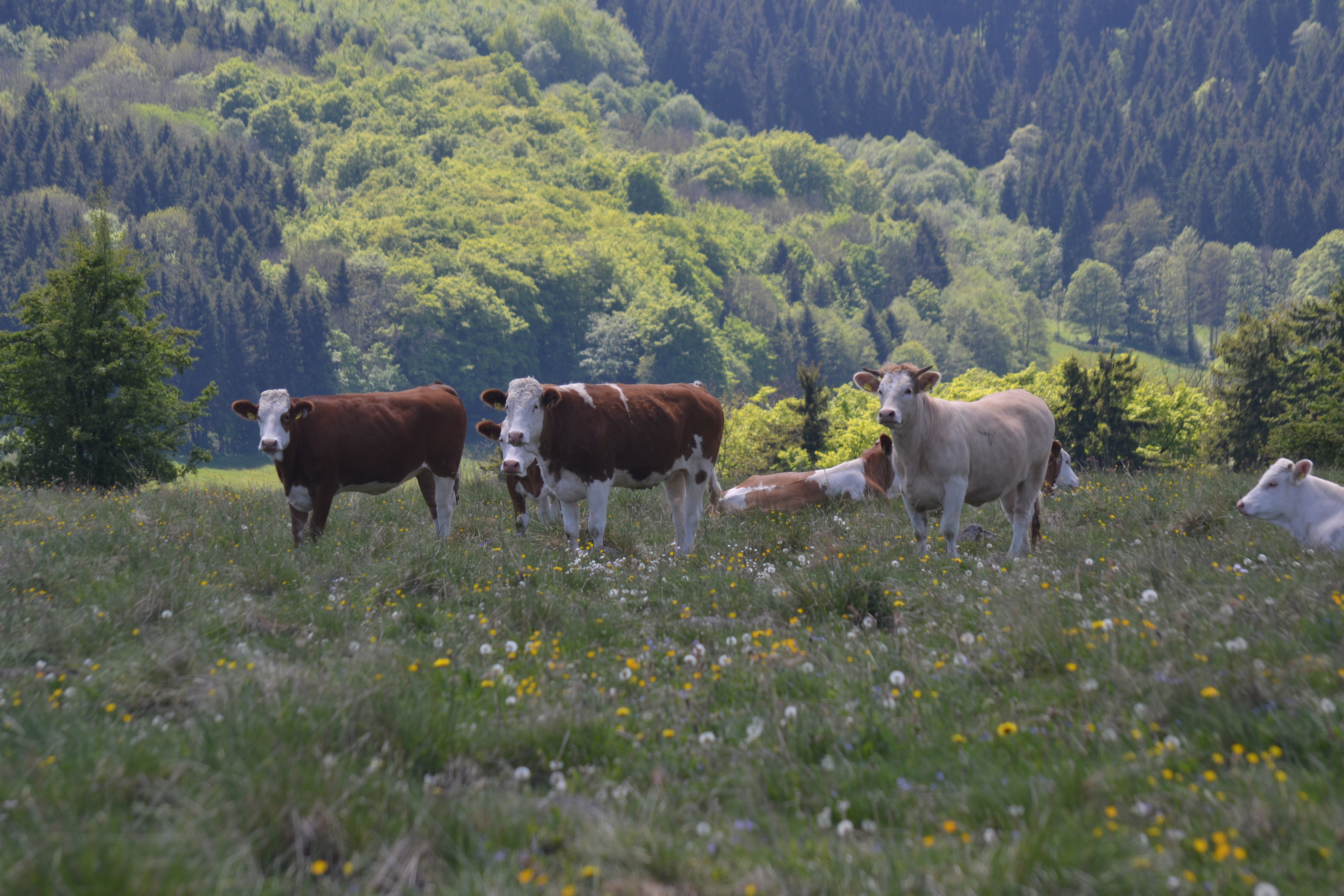 Cows in hill pasture