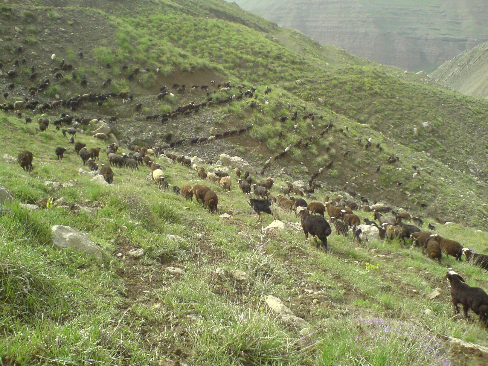 Flock on green hillside