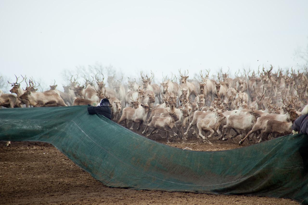 Reindeer herding