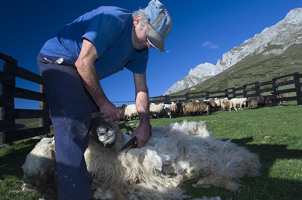 Sheep shearing in Spain