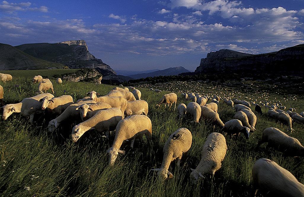 Sheep flock on highland