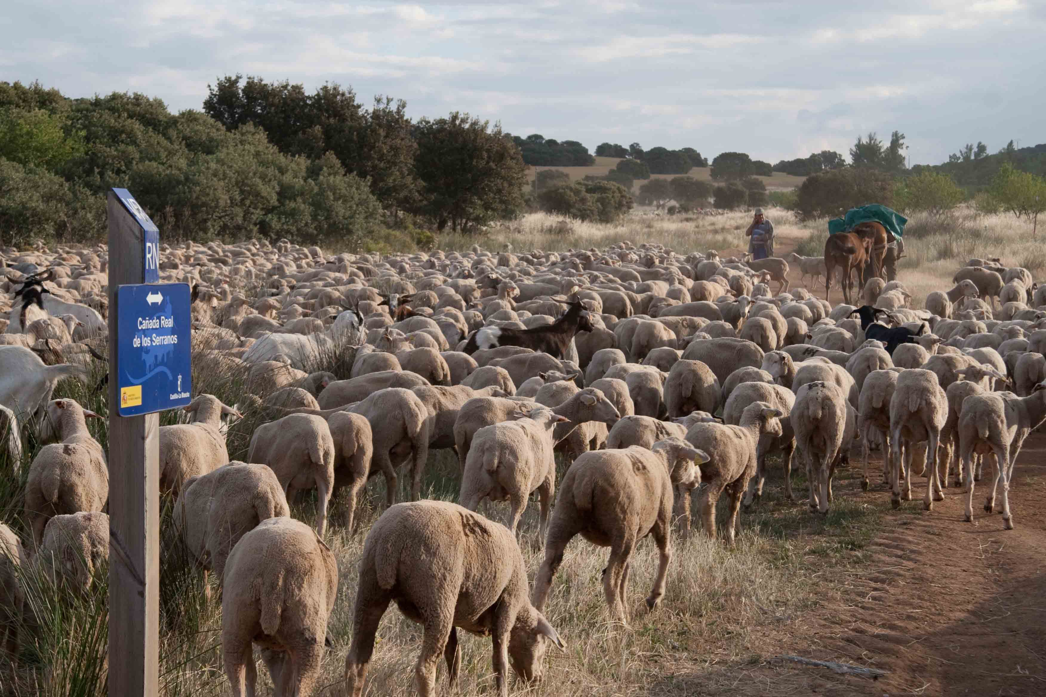 Sheep on designated droving route