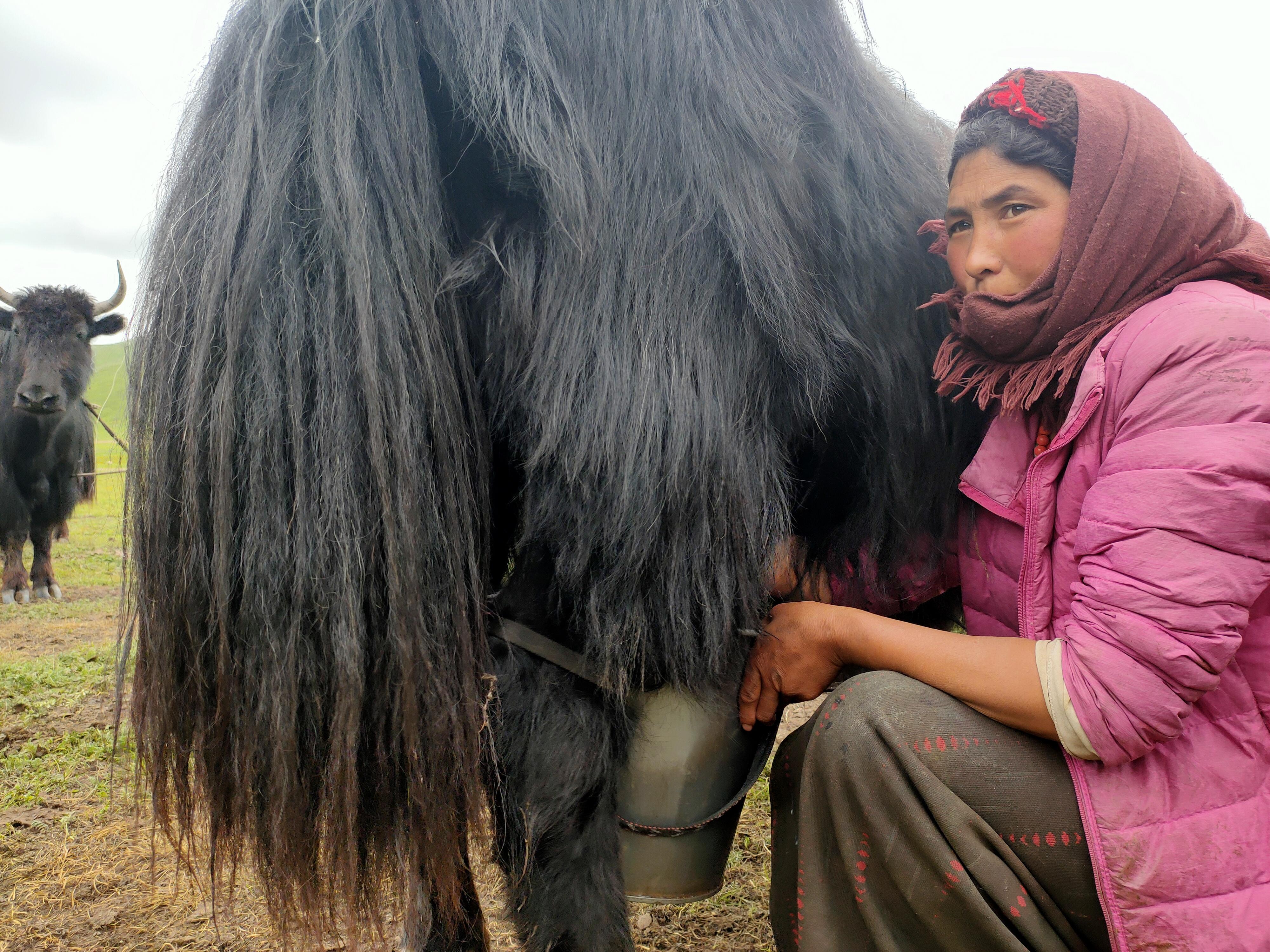 Tibet woman milking