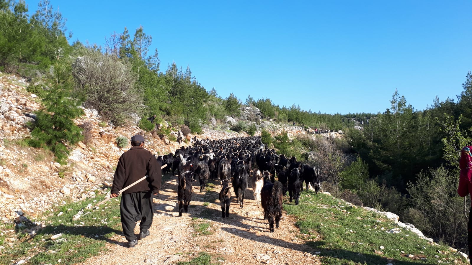 Herder and flock on road