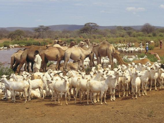 Somalia livestock at water point