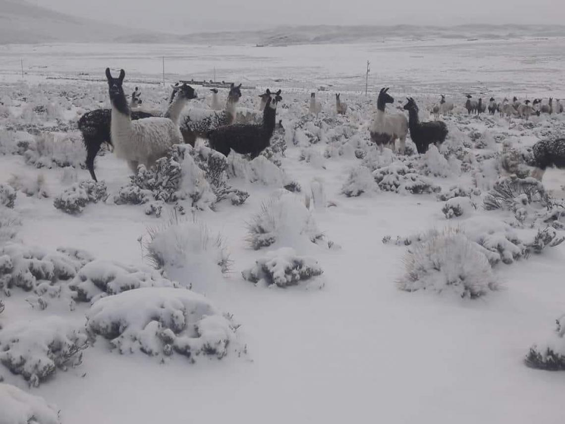Camelids in snow