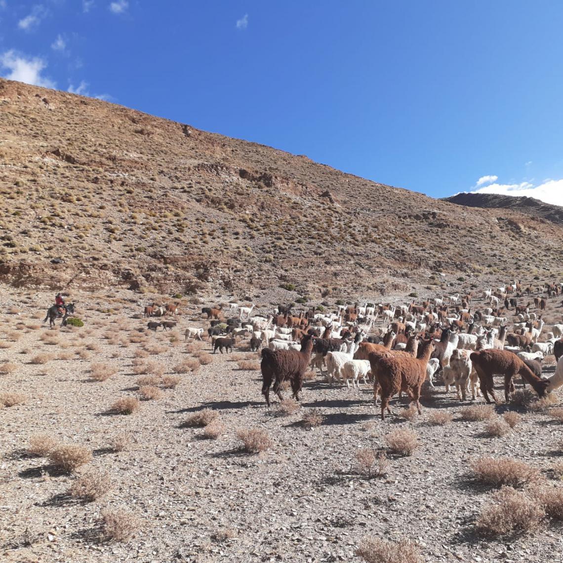 Herding in Argentina