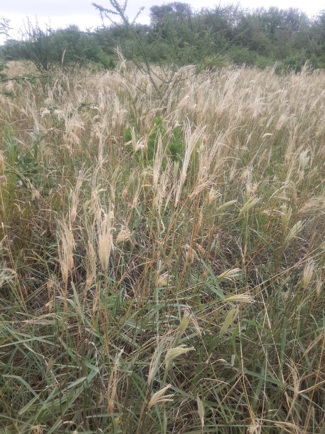 Natural pasture Chaco