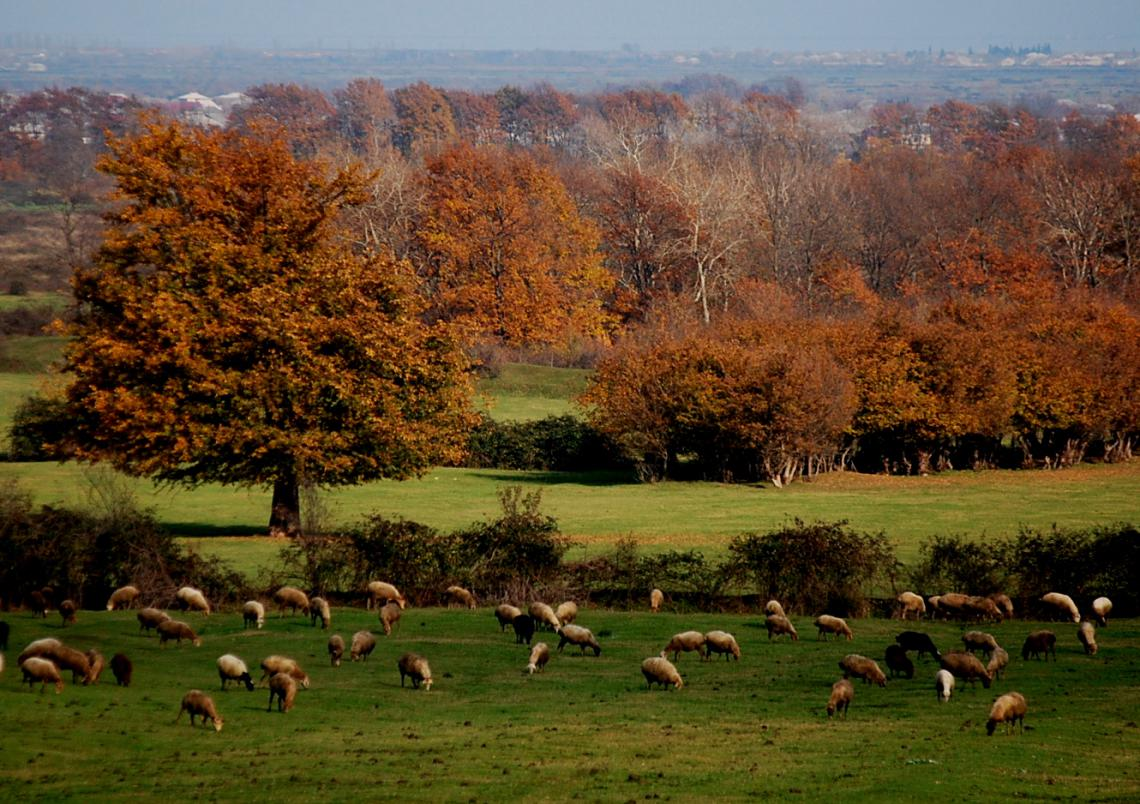 Sheep grazing in autumn in Azerbaijan