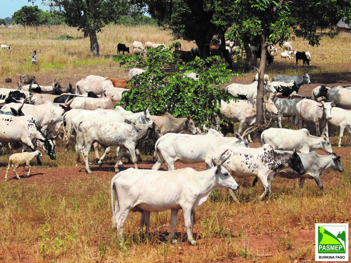 Cattle herd in Burkina