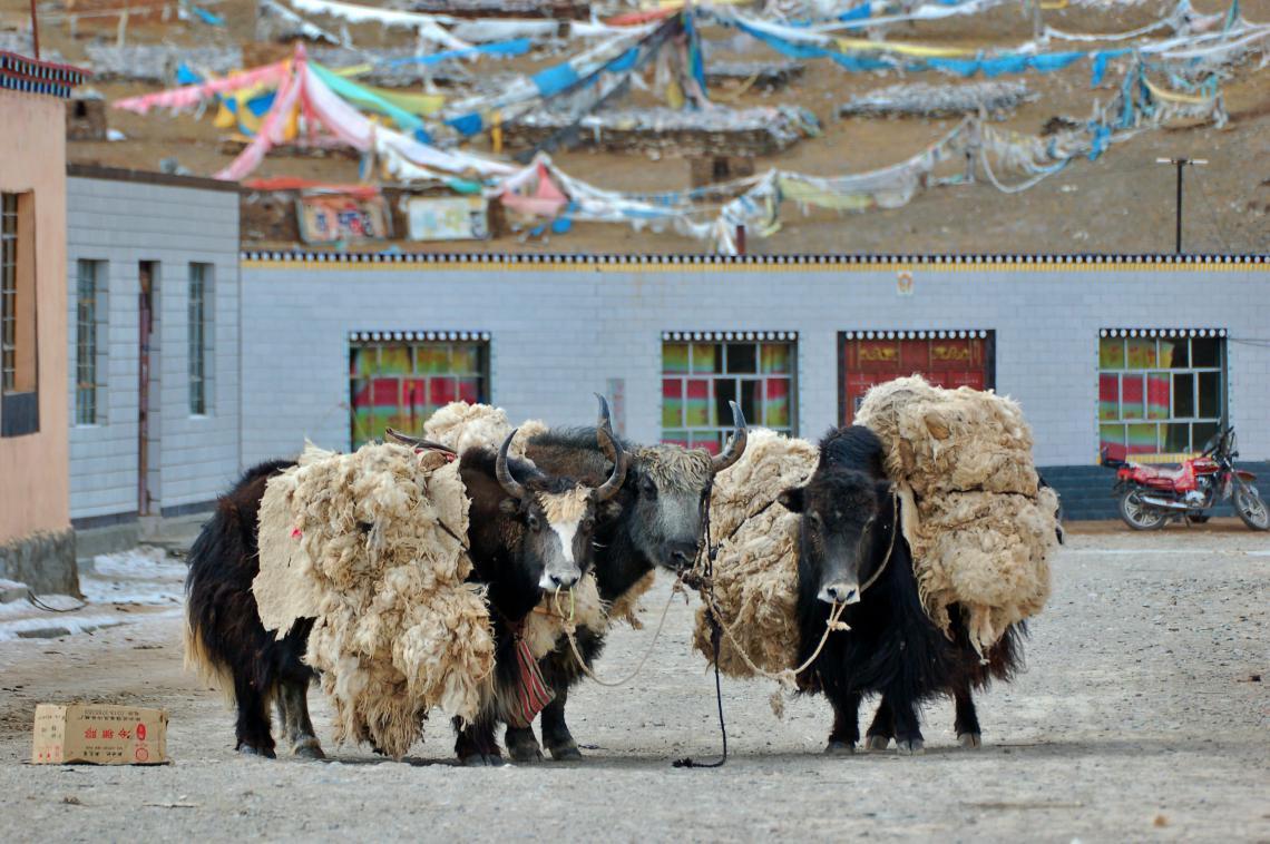 Packed yaks