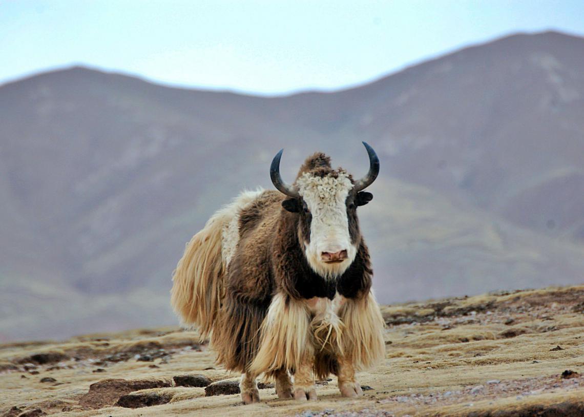 Lone yak