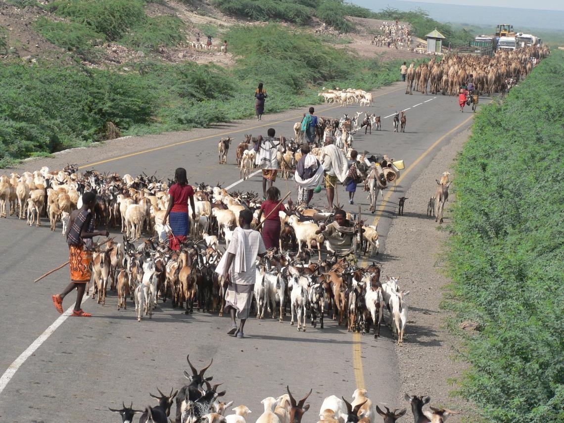 Herds on highway