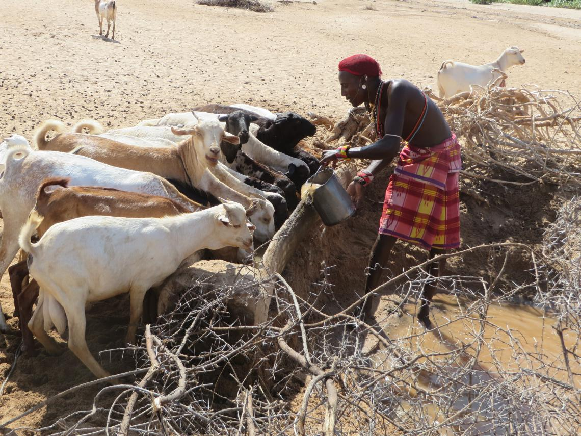 Watering goats