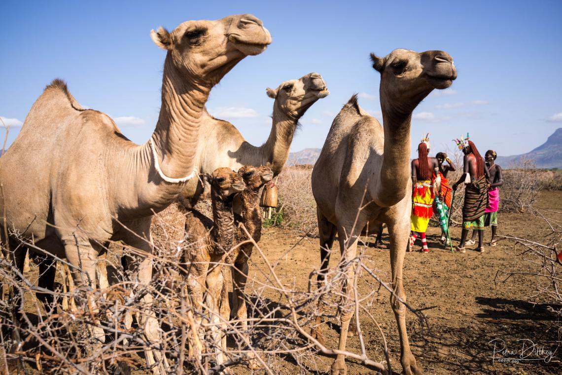 Kenyan camels