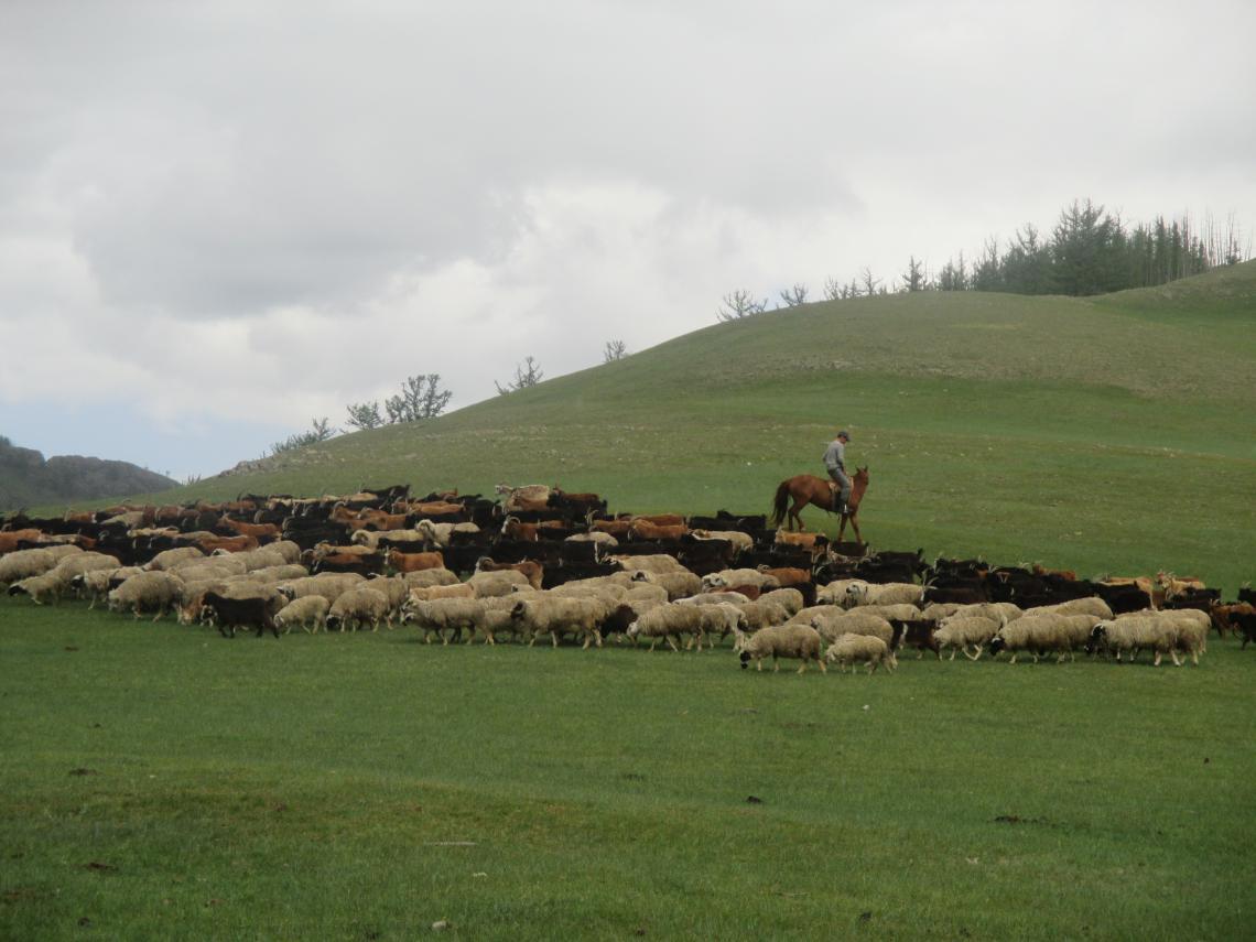 Mongolian herder with mixed herd
