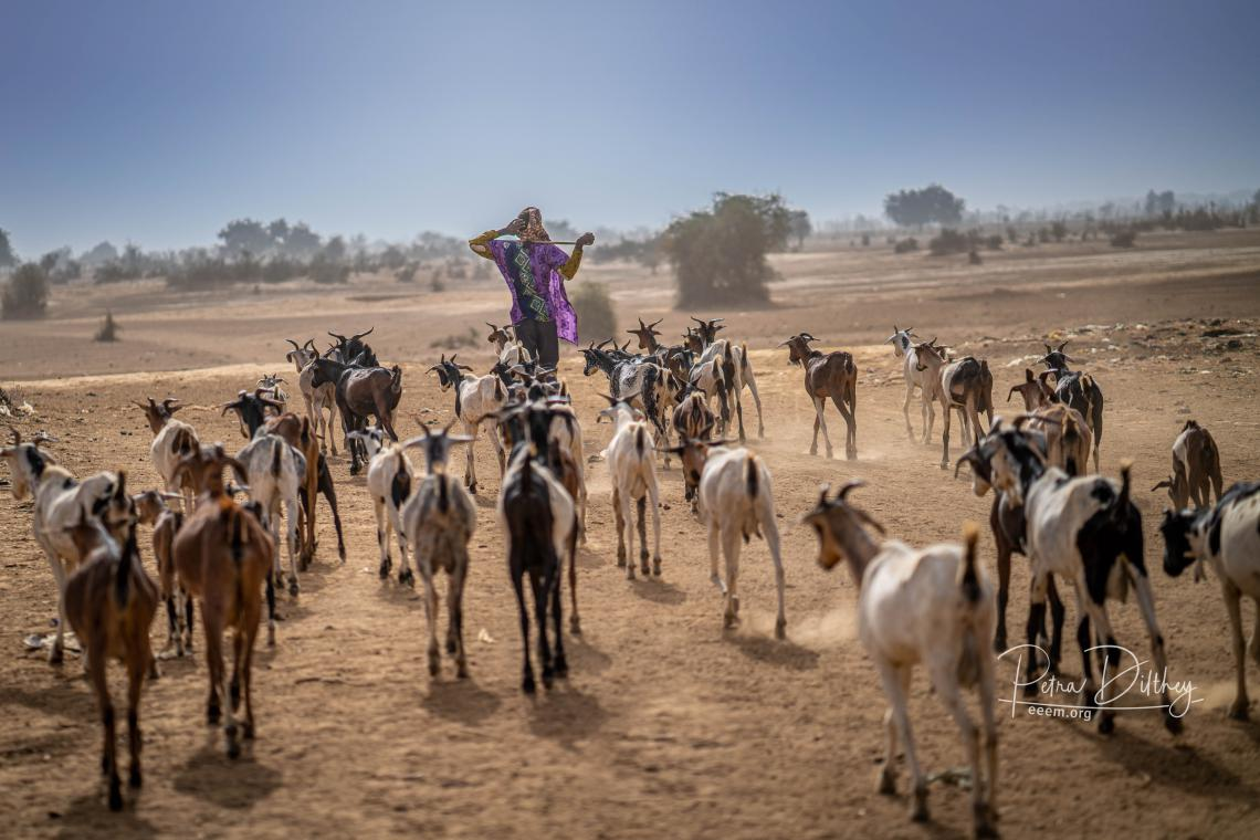 Herder with goats