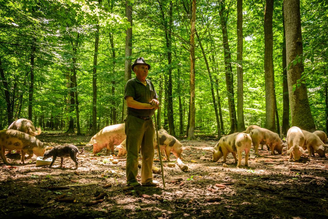 Pig herder in Serbia