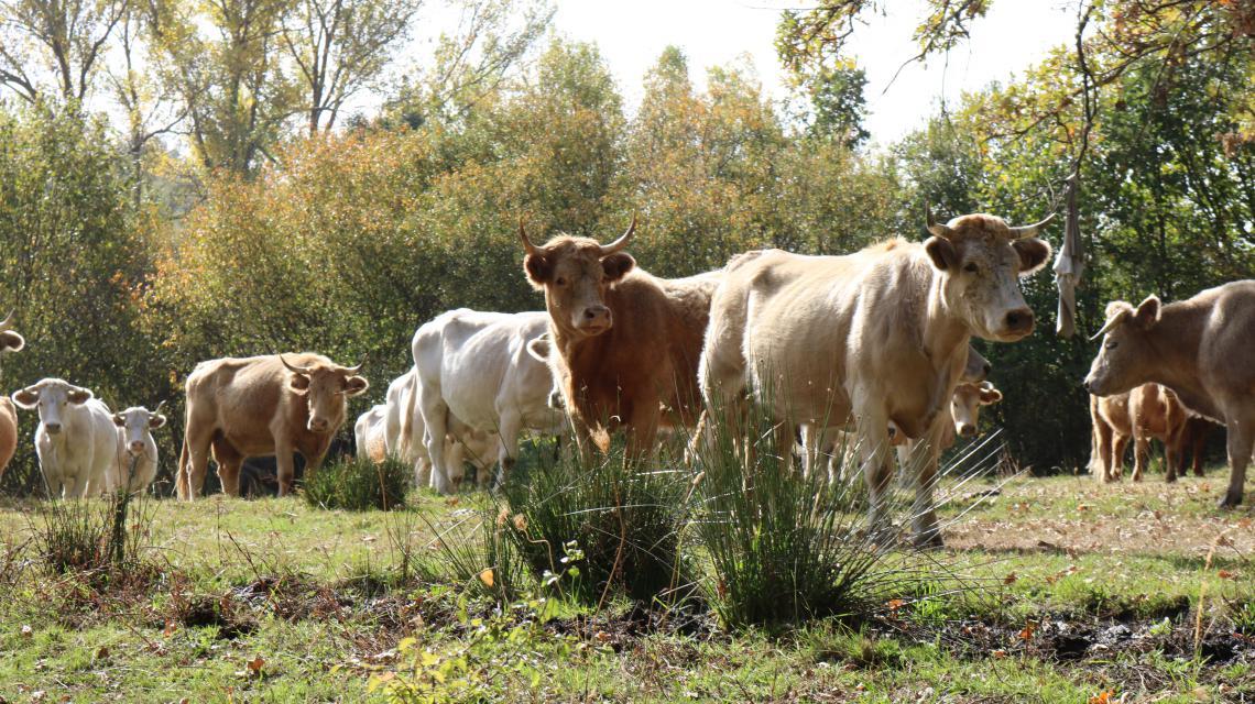 Cattle herd in Spain