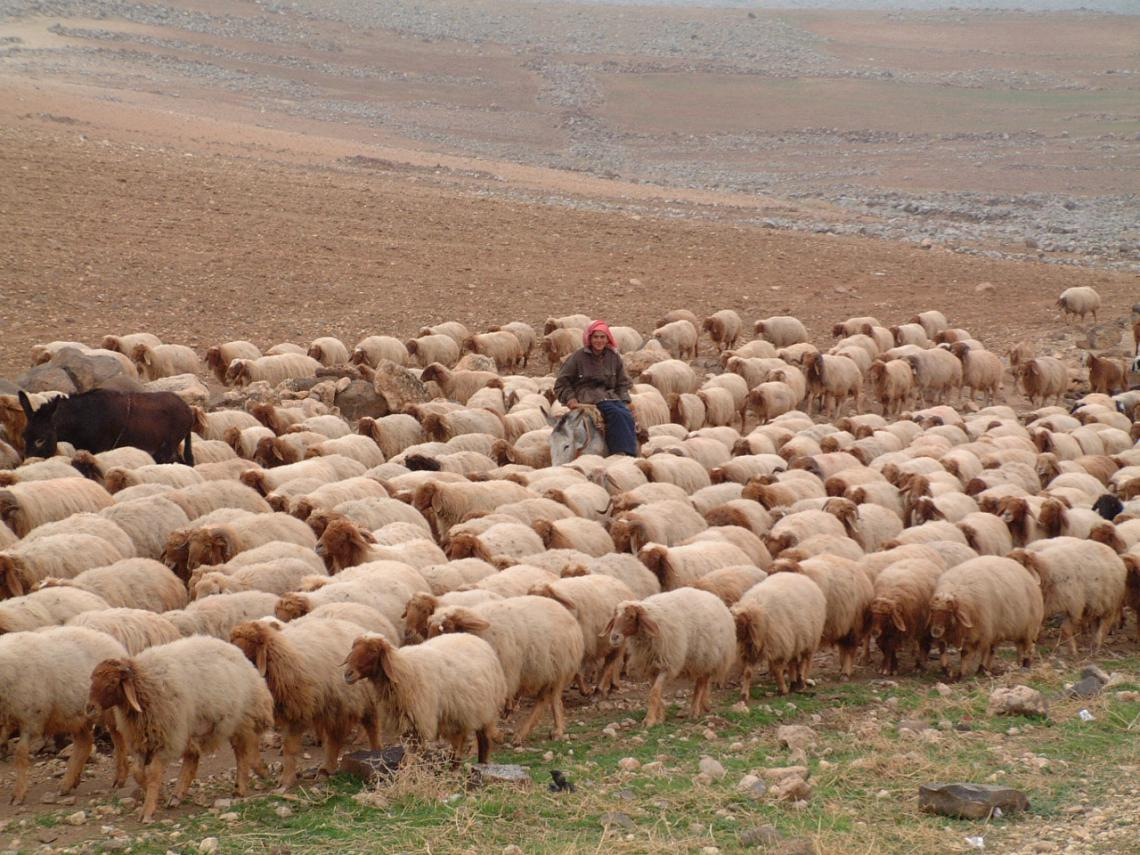 Woman with sheep flock